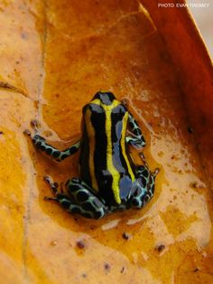 R. sirensis Highland morph  These frogs are referred to as 'standard lamasi' in the hobby. However, this is not the nominal form of R. lamasi, which comes from southern Panguana. The highland frogs have broad yellow stripes, blue legs, and can be found breeding in bamboo stands. This morph appears to be very rare, perhaps in part due to smuggling.