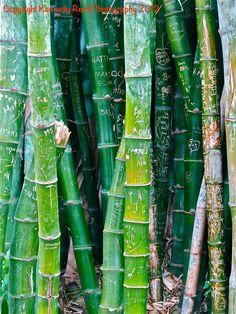 Bamboo Garden in Huntington Library