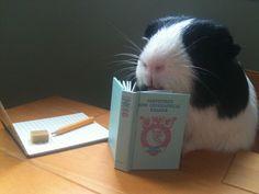Guinea pig reading