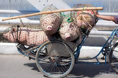 In Vietnam people manage to transport anything by bike or motorbike, from eggs to Ming vases and even pigs.