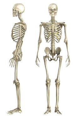 解剖学 Kittens silver tabby kittens for sale Human Skeleton Anatomy, Human Anatomy Drawing, Human Body Anatomy, Body Reference Drawing, Anatomy Reference, Le Wendigo, Anatomy Bones, Anatomy Sculpture, Skeleton Drawings
