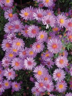 Aster dumosus 'Woods Purple'