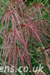 Miscanthus Andante2491