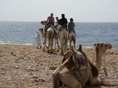 Camel riding in #Dahab, #Sinai, #Egypt