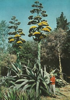 vintagenatgeographic: Giant century plant in Southern California, USA National Geographic | February 1958