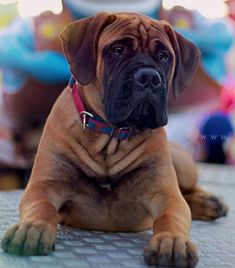 Bull  Mastiff Puppy Dog #BullMastiff Dog Photography