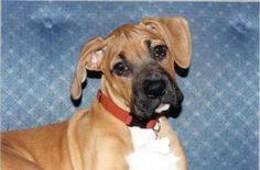 Delta the Boxer mix pup