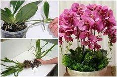 Az átültetéshez kapcsolódik az orchidea szaporítása. Vágj bele! Elmondjuk, hogyan kell! Orchids, Spring, Nature, Outdoor, Home Decor, Gardening, House, Ideas, Scrappy Quilts