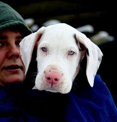 Gorgeous Great Dane Puppy