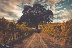 Lodi oak