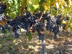 Washington wine country grapes! Two Blondes Vineyard, Yakima Valley