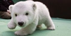 Snowflake (polar bear cub)