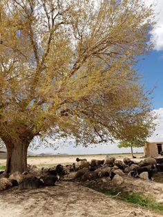 Old tree & sheep's Dehaqan Iran