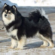 Finnish Lapphund:: Reserved with strangers, but usually calm and friendly; submissive at home, courageous at work. #dogs #pets #ShermanFinancialGroup