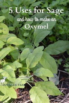 """Sage herb is a rock star when it comes to fighting colds, flu, fevers, and coughs.Sage's botanical name """"Salvia"""" means """"to feel well and healthy"""" sage herbal remedies how to make an oxymel"""