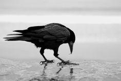 Curious crow?