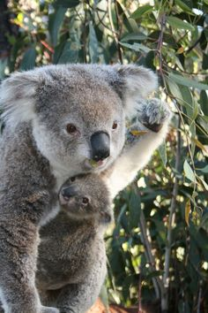 Taronga Zoo's New Koala Joey Peeks out from Mom's Pocket