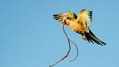 Monk Parrots FindFreedom - City Parrots -