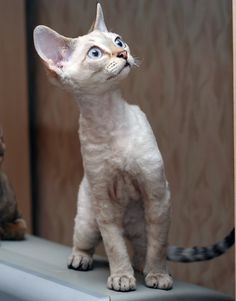 Devon Rex cat breed is a new medium sized cat breed originated in England. These cats have a short haired coat with sleek bodies having long legs.They are active and playful cats who like to jump and find out every single thing in your house. They are very intelligent and affectionate cats and get along well with other pets. They are the 4th most affectionate of all cat breeds.