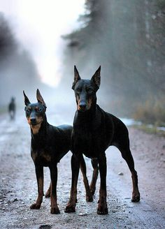Doberman's, dogs that don't get credit for how loving and sweet they are!