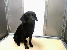 Mattie  Labrador Retriever/Schipperke Mix: An #adoptable dog in #Saluda, #VIRGINIA   Small • Adult • Female