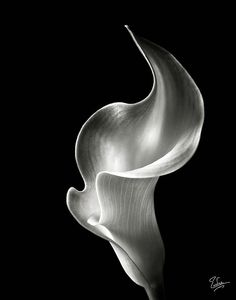 Flame Calla Lily In Black And White Photograph by Endre Balogh