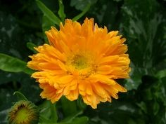 Ringelblume Die Ringelblume ist nicht nur als Heilpflanze bekannt, sondern steht auch in vielen Gärten als besonders üppig blühende Zierde. Ab Juni taucht sie viele Bauerngärten in leuchtendes Orange.  Ihre Blüten sind ein hervorragendes Wundheilmittel, was die starke Verbreitung der Ringelblumensalbe erklärt.