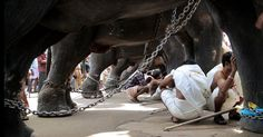 Gods in Shackles - Documentary on asian elephant abuse in Indian culture
