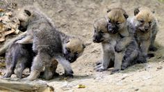 6 Playful Arctic Wolf Cubs by Josef Gelernter *Playmate's best friend? I want a wolf puppy! Wolf Images, Wolf Photos, Beautiful Wolves, Animals Beautiful, Mon Zoo, Of Wolf And Man, Arctic Wolf, Arctic Animals, Wolf Love