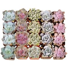 20 Premium Succulent Rosettes (€39) ❤ liked on Polyvore featuring home, home decor, rose home decor and green home decor