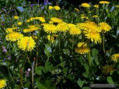 Löwenzahn #nature #herbs #flower #gardening #garden #food