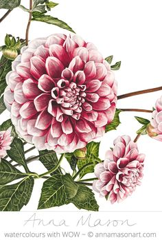 Dahlia 'Tiptoe' by Anna Mason Botanical Flowers, Botanical Prints, Art Floral, Watercolor And Ink, Watercolor Flowers, Watercolor Paintings, Anna Mason, Botanical Drawings, Botanical Tattoo