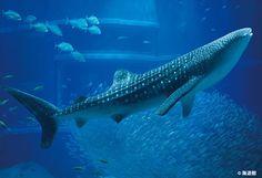水族館ランキング2冠達成!世界に認められた「海遊館」に注目