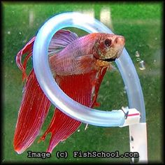 Cures for bored bettas - Tropical Fish Forum . Net