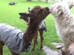 Baby Alpaca Kisses A Dog
