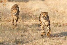 """""""Running with 4 legs in the air"""" Namibia"""