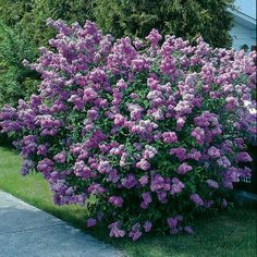 Lavender Lady Lilac (Syringa vulgaris Lavender Lady) - Doesn't need cold winters to bloom! Long Lasting Flower, Lilac Tree, Lilac Bushes, Plants, Garden Shrubs, Shrubs, Syringa, Flowering Trees, Flower Seeds