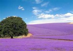 Lavender fields in Texas Hill Country