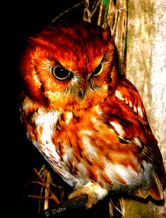 Madagascar Red Owl (barn owl) was virtually unknown from its 1878 discovery to its 1993 rediscovery. Due to habitat loss, it's listed as 'vulnerable. Owl Photos, Owl Pictures, Beautiful Owl, Animals Beautiful, Owl Bird, Pet Birds, Nocturnal Birds, Red Owl, Burrowing Owl