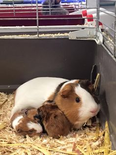 Four gorgeous baby guinea pigs have finally been born here at Pet Bliss. Visit us in store to see what pets we have available or shop for Petcare online at www.petbliss.com