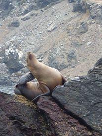 Lobo de Mar - Reserva Nacional Pingüinos de Humboldt  (photo taken by my) Lonely Planet, Chile, Spaces, Animals, Norte, Animales, Chili Powder, Animaux, Chili