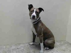 Brooklyn Center  ANASTASIA - A0996630  FEMALE, BROWN / WHITE, PIT BULL MIX, 2 yrs STRAY - STRAY WAIT, NO HOLD Reason STRAY Intake condition NONE Intake Date 04/14/2014, From NY 11226, DueOut Date 04/17/2014, https://www.facebook.com/photo.php?fbid=787098047969743&set=a.617941078218775.1073741869.152876678058553&type=3&theater