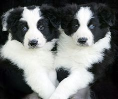 Border collie pups are the softest, cuddliest things before their long coats come in.