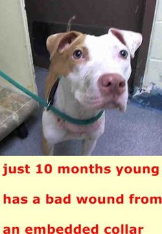 SAFE 6-2-2015 by   Amsterdog Animal Rescue --- SUPER URGENT Manhattan Center SIBBLE – A1036555  ***EMBEDDED COLLAR WOUND***  FEMALE, TAN / WHITE, PIT BULL MIX, 10 mos STRAY – STRAY WAIT, NO HOLD Reason STRAY Intake condition INJ MINOR Intake Date 05/16/2015 http://nycdogs.urgentpodr.org/sibble-a1036555/