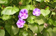 Purple Morning Glory 50 seeds Some states are Prohibited Please read description #Myownseedsharvested2014