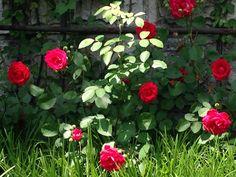 길에 장미꽃이 너무 예쁘게 피었다. 봄꽃인데 날씨는 벌써 여름 ㅠ #장미꽃오랜마ㄴ