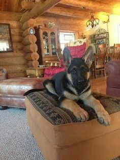 what a gorgeous German shepherd Puppy sitting in a log cabin