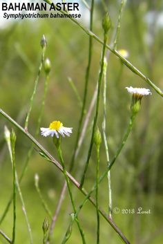 BAHAMAN ASTER (Symphyotrichum bahamense)   What Florida Native Plant Is Blooming Today?™