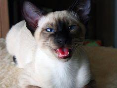 siamese cats | yawning , siamese