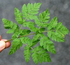 Sweet Cicely (Myrrhis odorata). Leaves in soups, salads, tempura. Seeds in cape or applepie. In combination with fish